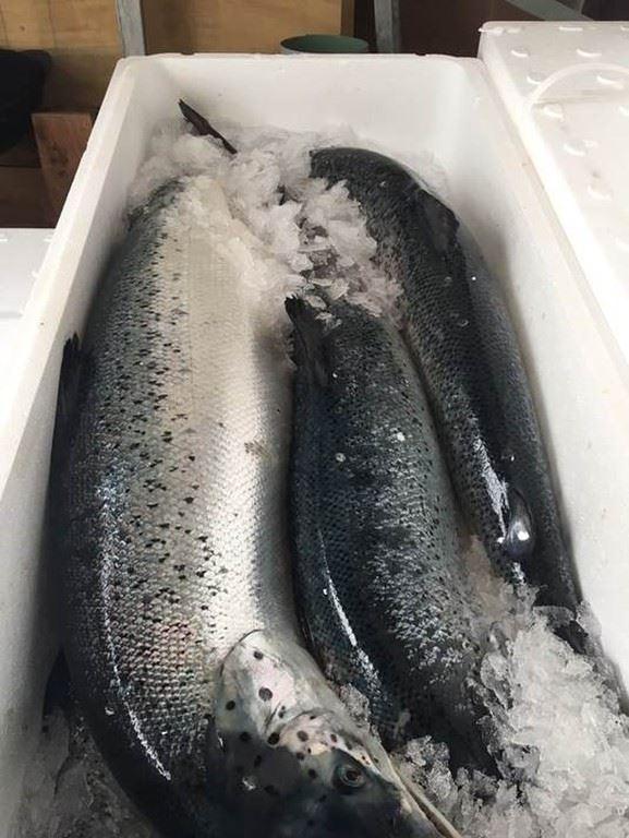 cá hồi nguyên con