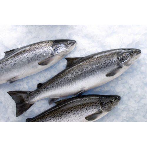 Cá hồi Nauy Leroy Size 5-6kg (4 Con/Thùng)
