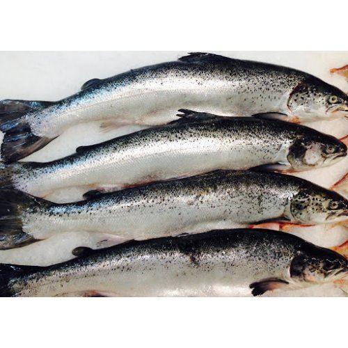 Cá hồi Úc Huon sỉ size 5-6kg (21-23kg/Thùng)