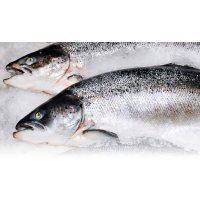 Cá hồi Úc giá sỉ Petuna Size 6-7kg (3 Con/Thùng)